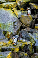 6-21-18-Puffins-in-Cook-Inlet-XT2-0513-large