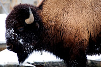 1-20-2012 Yellowstone Bison-1575