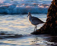12-14-14 Boneyard Beach - Botany Bay-0435 Bird-2