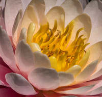 6-2-17 Schnormeier Water Lily_8104279 large