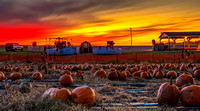 Pumpkin Field Circleville, Ohio 810_5548